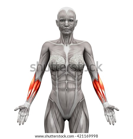 Forearm Anatomy Muscles Isolated On White Stock Illustration