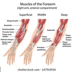 Forearm flexor muscles, labeled