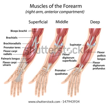 Forearm Flexor Muscles Labeled Stock Illustration 147943934 ...