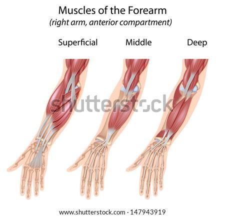 Forearm Flexor Muscles Unlabeled Stock Illustration 147943919