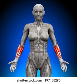 Forearms - Female Anatomy Muscles