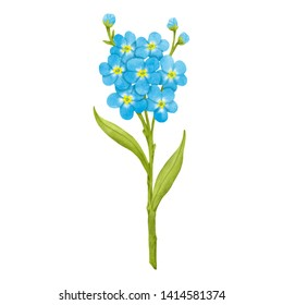 Forget me not flower realistic illustration