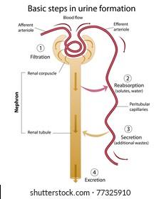 Formation of urine