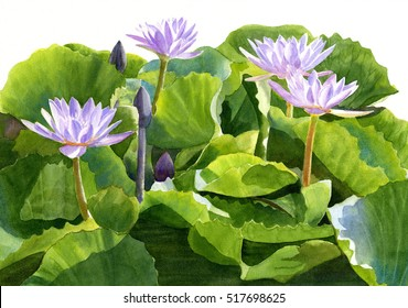Four Lavender Water Lilies.  Watercolor, painting, illustration, of tropical water plants with green and yellow leaves.