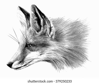 Fox isolated on white background