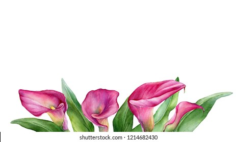 Frame, border with a pink calla lily Zantedeschia rehmannii flower. Watercolor hand drawn painting illustration isolated on a white background.