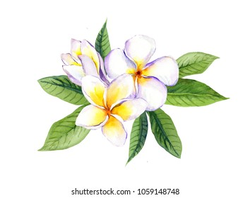 976d6000f6e5b For. Frangipani plumeria flowers with leaves. Watercolor