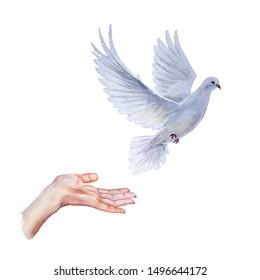 A free flying white dove on white bascground