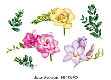 Freesia flower and buxus green leaves watercolor illustration set. Hand painted botanical pink, yellow, violet flowers with green buds in the full bloom and natural branches.