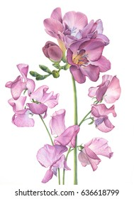 Freesia and Sweet pea flower
