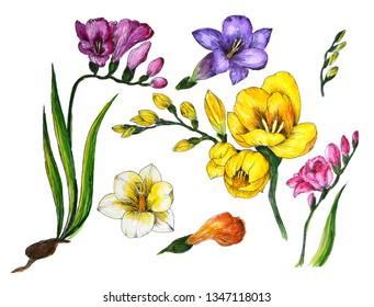 freesia watercolor illustration flower color