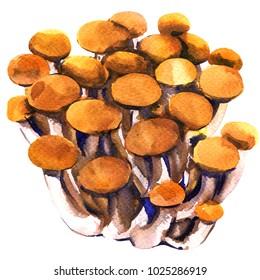 Fresh brown shimeji beech mushroom, closeup, bunch of edible mushrooms isolated, watercolor illustration on white