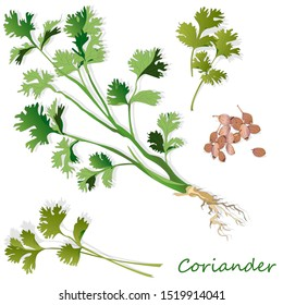 Fresh coriander or cilantro herb.Coriander powder in the cup. Illustration isolated.