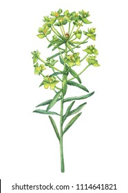 Fresh Euphorbia esula with lime green flowers (succulent poisonous plant known as leafy spurge, Euphorbia cyparissias). Watercolor hand drawn painting illustration isolated on a white background.