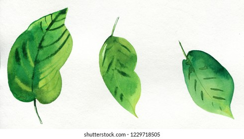 Fresh green  leaves isolated on white background. Hand drawn watercolor illustration.