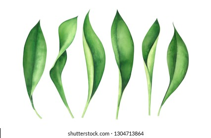 Fresh green leaves isolated on white background. Watercolor hand drawn illustration.