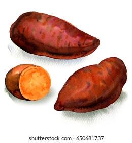 Fresh raw organic sweet potato isolated, watercolor illustration on white