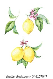 Fresh yellow lemons with green leaves and pink flowers. Hand drawn watercolor illustrations isolated on white.