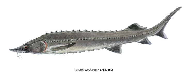 Freshwater fish of the Far East  - sturgeon, Isolated on a white background, drawings watercolor