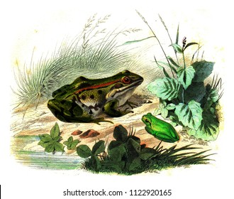 Frog, The green queen, vintage engraved illustration. Natural History from Lacepede.