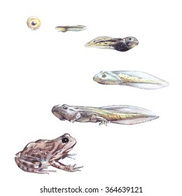 Frog life cycle illustration. Hand drawn realistic illustration shows the life cycle of a frog from an egg to a frog.
