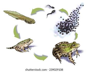 frog metamorphosis stages
