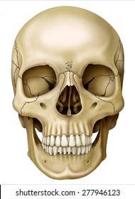 Front view of human skull