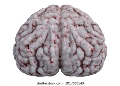 Front view on human brain isolated on white background. 3D rendered illustration.