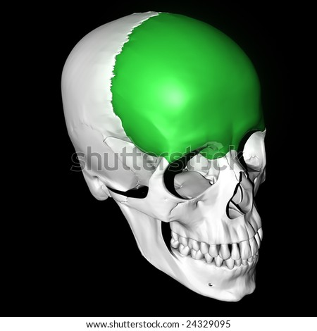 Frontal Bone Highlighted Green Stock Illustration 24329095 ...