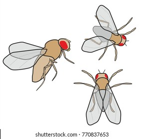 Fruit fly or Drosophila melanogaster is used as an animal model for research in genetics, physiology and bioscience.