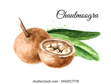 Fruit Hydnocarpus anthelminthicus or Chaulmoogra, Watercolor hand drawn illustration, isolated on white background