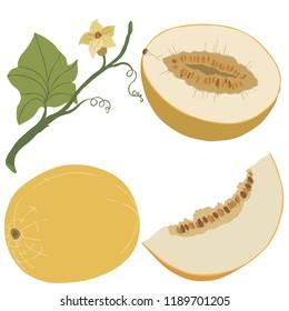 Fruit melon, vector, color