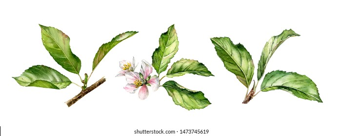 Fruit tree branch leaves set realistic botanical watercolor floral illustration collection with isolated hand painted foliage of apple pear plum apricot cherry trees