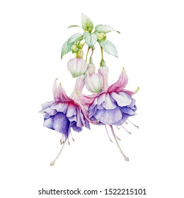 Fuchsia tender lilac flowers with buds and green leaves watercolor illustration. Hand painted botanical violet with pink fuchsia blossoms in the full bloom. Isolated on white background.