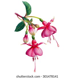 Fuchsia flowers images stock photos vectors shutterstock fuchsia watercolor hand drawn illustration beautiful pink flowers and buds isolated on a white mightylinksfo