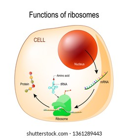function of ribosomes. Cell with organelles: nucleus, mrna, proteins, tRNA and Ribosome. Process of translating mRNA into protein. illustration for medical, educational, biologycal and science use