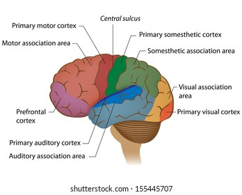 Functional areas of the brain labeled