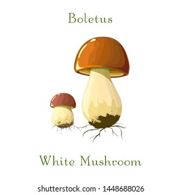funghi porcini or Boletus mushrooms on white background for culinary design label and product market.Realistic illustration. Hand drawing. Raw vegetarian food. Cartoon style porcini mushrooms