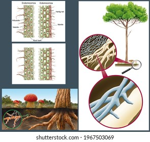 Fungi. The alimentation of fungi. The Fungi. The mycorrhiza. Digital illustration without text and with captions in English.
