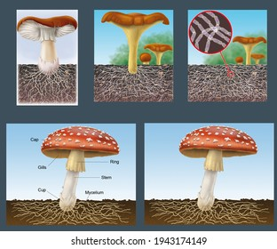 Fungi. Morphology and life cycle of fungi. Digital illustration without text and with captions in English