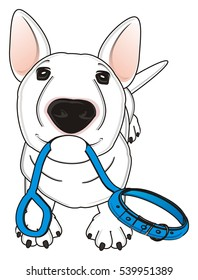 funny white bull terrier stand and hold in his mouth a blue leash