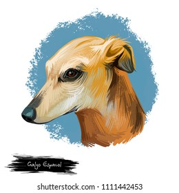 Galgo Espanol dog breed digital art illustration isolated on white. Popular puppy portrait with text. Cute pet hand drawn portrait. Graphic clip art design