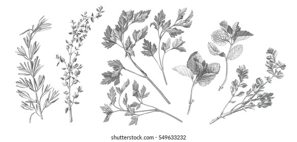 Garden Herbs Black and White Pencil Drawing Set Isolated on White