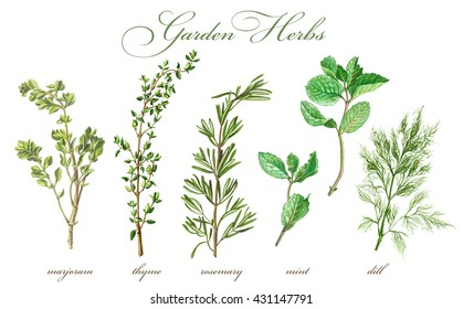 Garden Herbs Pencil Drawing Set Isolated on White
