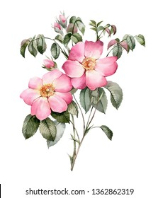 Garden pink roses. Botanical illustration. This picture can be used as background.