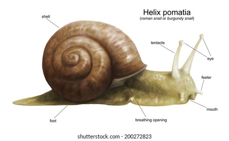 Garden snail (Helix pomatia) diagram - white (no background)