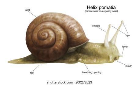 Garden snail (Helix pomatia) diagram - white (no background)