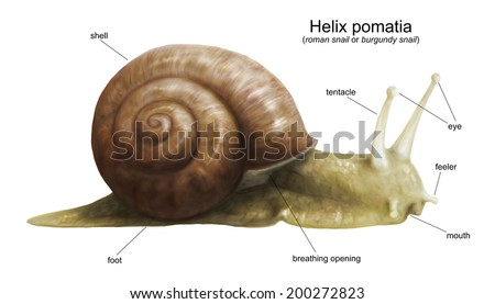 Sea Snail Diagram Wire Data Schema