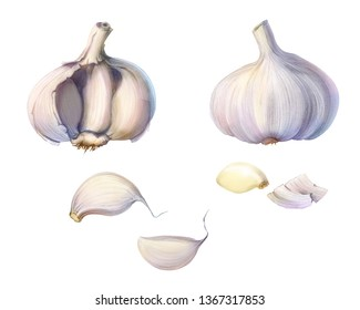 Garlic Bulb and Cloves Pencil Illustration Isolated on White