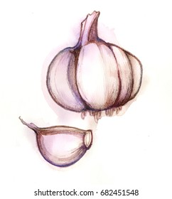 Garlic. Hand drawn watercolor painting on white background.